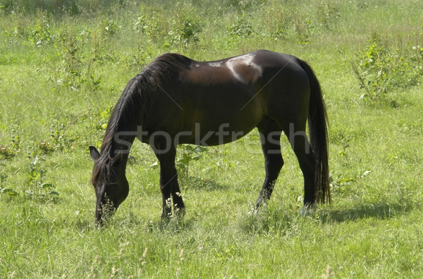 dark brown horse out at fed Stock photo © prill