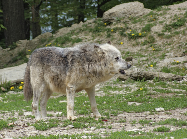 Gray Wolf Stock photo © prill