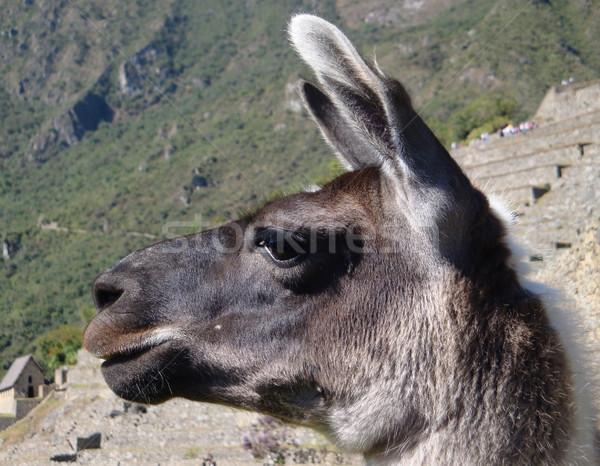 Lama portret Machu Picchu oude stad Peru Stockfoto © prill