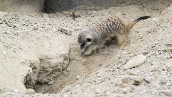 digging Meerkat Stock photo © prill