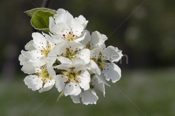white pear blossoms Stock photo © prill