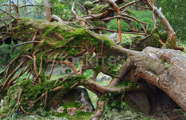 overgrown tree trunk Stock photo © prill