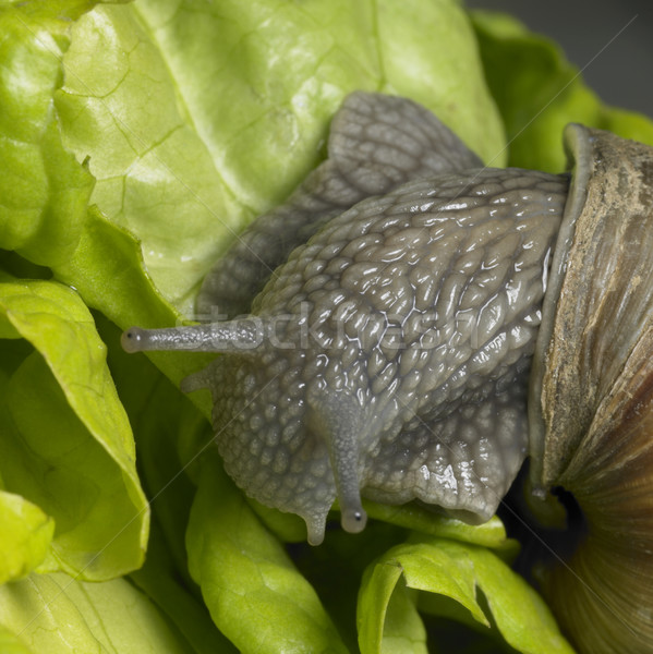 Grapevine snail at feed Stock photo © prill