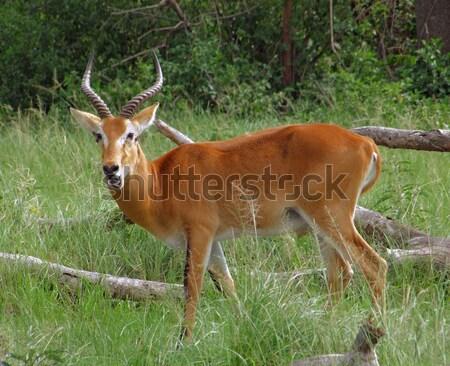 Uganda Kob in grassy ambiance Stock photo © prill