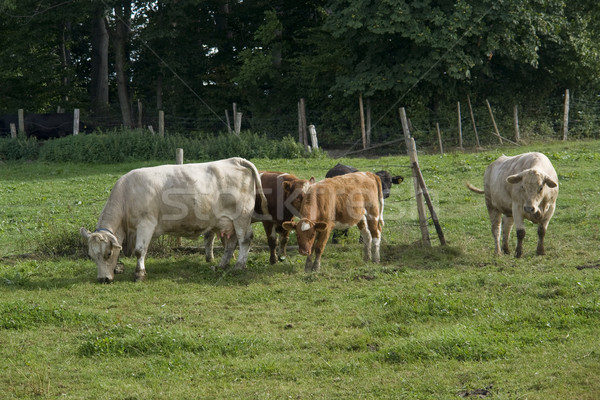cattle in green pasture Stock photo © prill