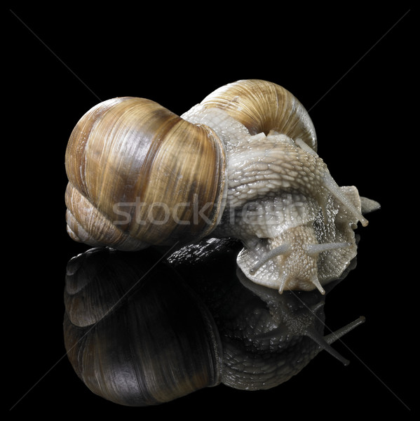 two Grapevine snails on each other Stock photo © prill