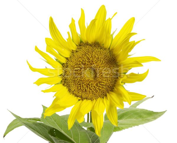 sunflower in white back Stock photo © prill
