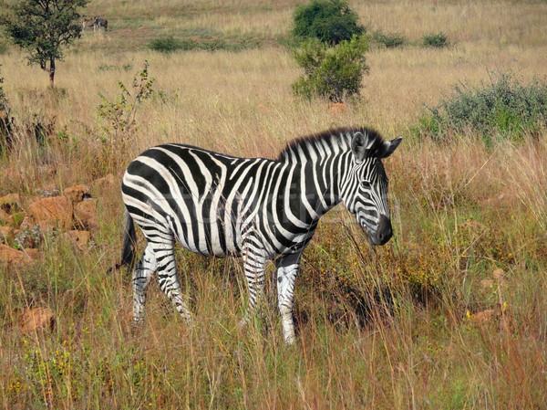 Zebra landschap South Africa dier afrikaanse permanente Stockfoto © prill