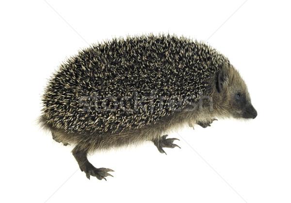 hedgehog in white back Stock photo © prill