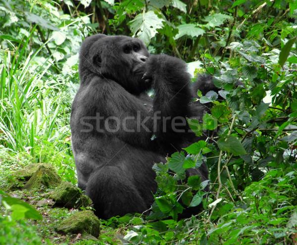 Mountain Gorilla in green vegetation Stock photo © prill