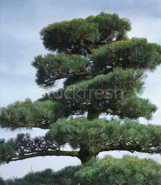 big Bonsai detail Stock photo © prill