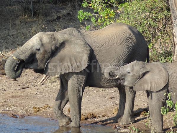 Filler Botsvana manzara Afrika su aile Stok fotoğraf © prill