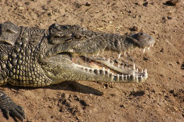 Crocodilo retrato ensolarado cenário Botswana África Foto stock © prill