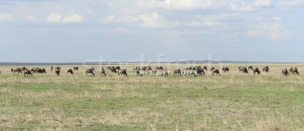 панорамный мнение Серенгети животные Танзания Африка Сток-фото © prill