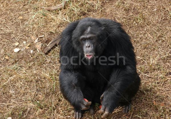 Csimpánz barna füves föld szabadtér lövés Stock fotó © prill