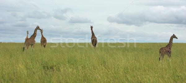 grassland scenery with Giraffes in Africa Stock photo © prill