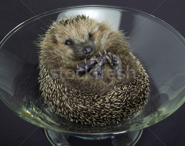 hedgehog in a glass bowl Stock photo © prill