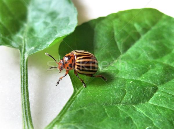colorado potato beetle Stock photo © prill