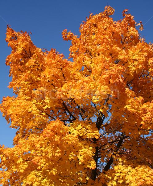 orange treetop Stock photo © prill