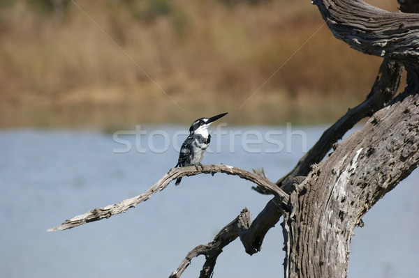 pied kingfisher Stock photo © prill