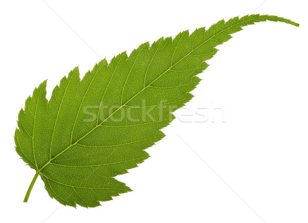 jagged leaf Stock photo © prill