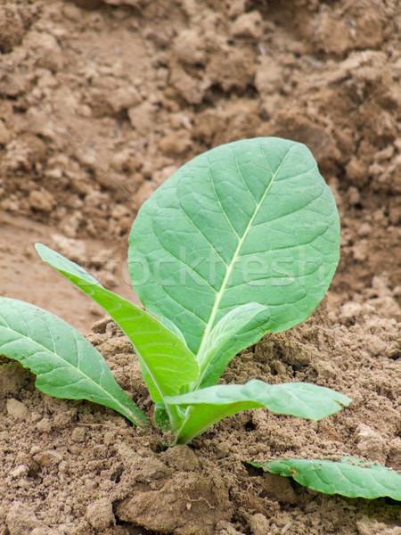 Genç tütün bitki alan çiftlik tarım Stok fotoğraf © prill