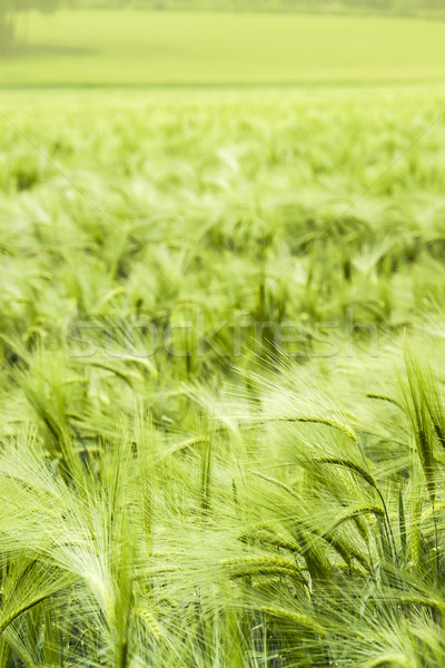 barley field detail Stock photo © prill