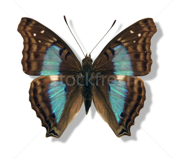 iridescent butterfly Stock photo © prill