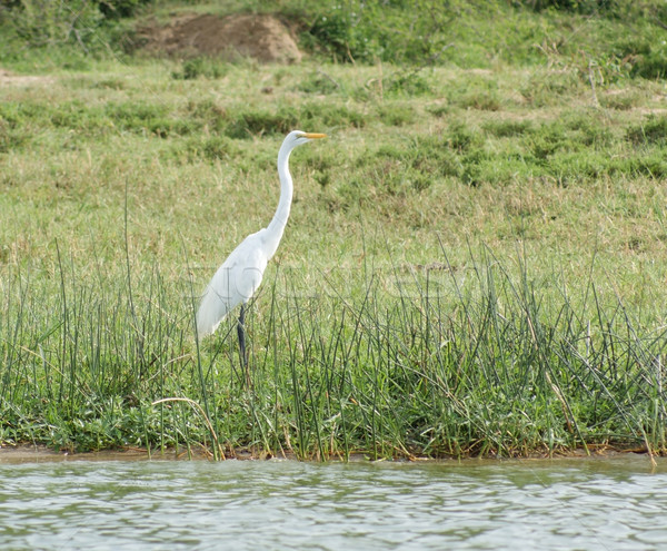 waterside scenery with little Egret Stock photo © prill