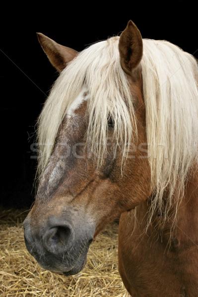 horse portrait Stock photo © prill
