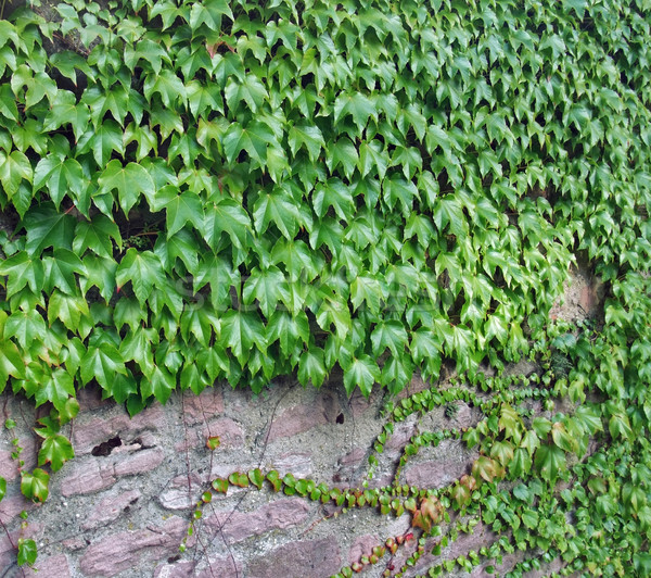 ivy and stone wall Stock photo © prill