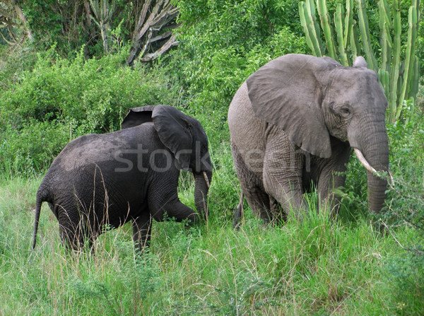 two elephants in green vegetation Stock photo © prill