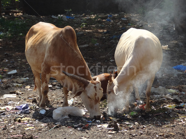 cows on waste dump Stock photo © prill