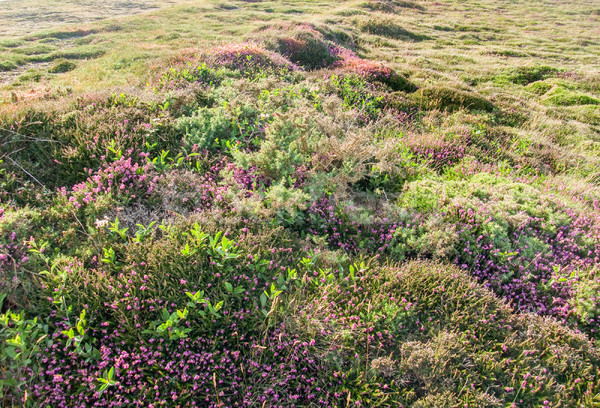 colorful heath vegetation detail Stock photo © prill