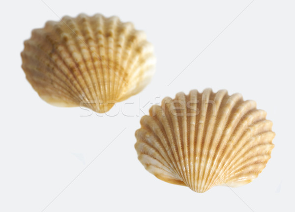 two sea shells Stock photo © prill
