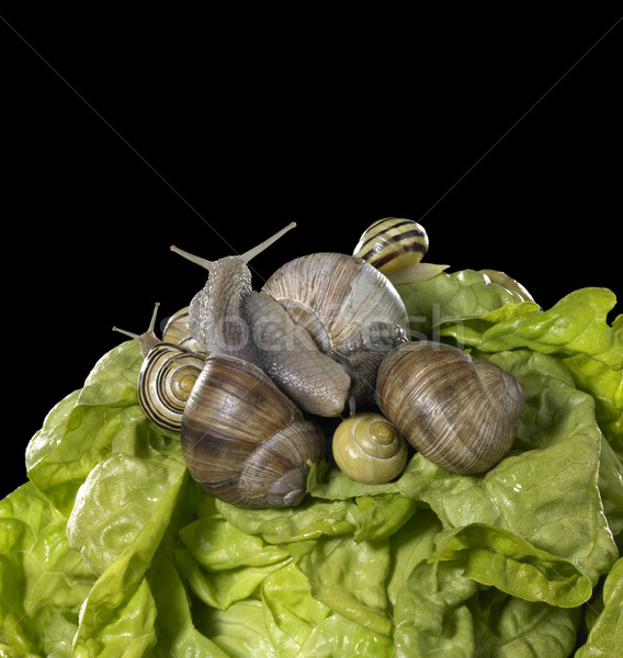 lettuce and snails closeup Stock photo © prill