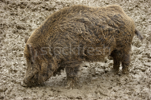 Boueux sauvage sanglier Retour nature animaux Photo stock © prill