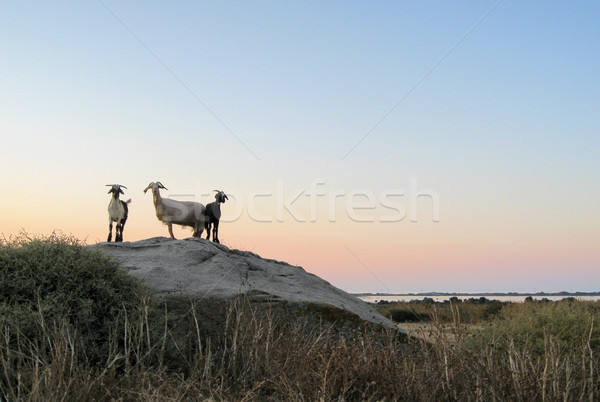 goats at evening time Stock photo © prill