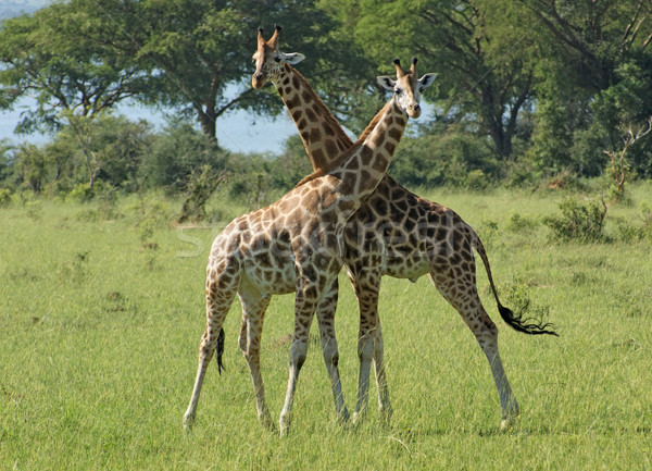 two Giraffes in sunny ambiance Stock photo © prill