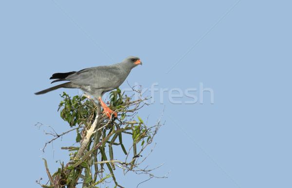 Goshawk on treetop Stock photo © prill