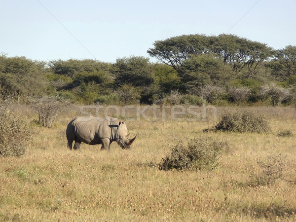 White rhinoceros Stock photo © prill