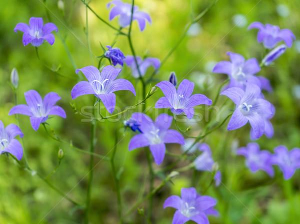 Azul flores silvestres tiro flores primavera Foto stock © prill