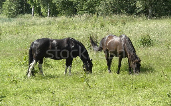 Stock photo: two horses out at fed