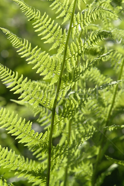 fresh green fern leaf Stock photo © prill