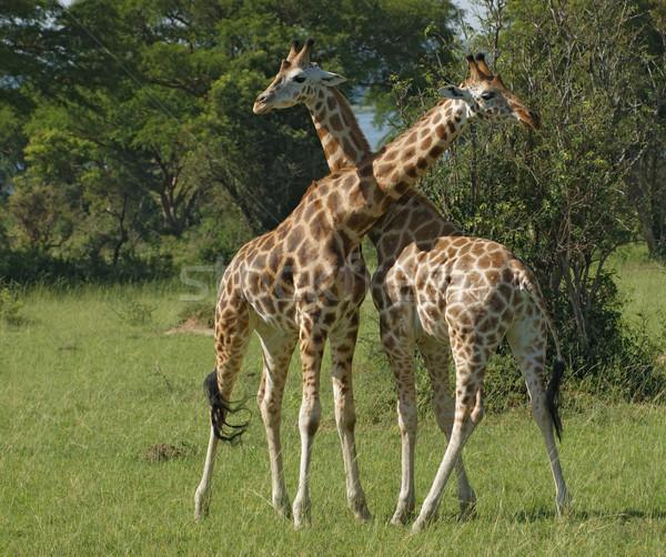 male Giraffes at fight Stock photo © prill