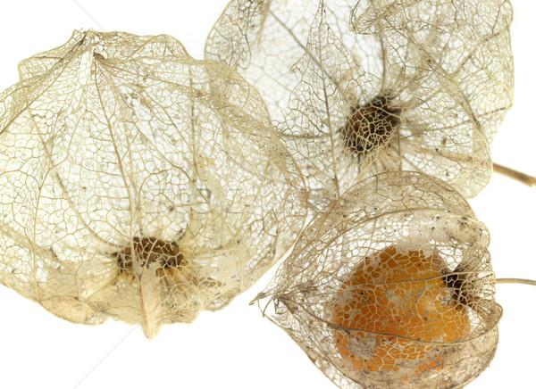 rotten chinese lantern detail Stock photo © prill