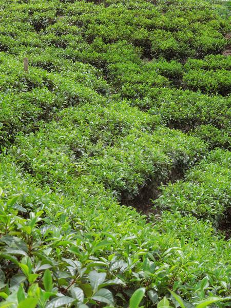 Thee plantage Sri Lanka natuur plant planten Stockfoto © prill