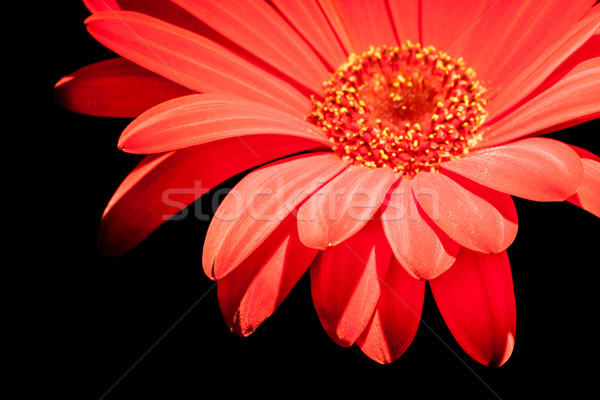 red gerbera flower closeup Stock photo © prill
