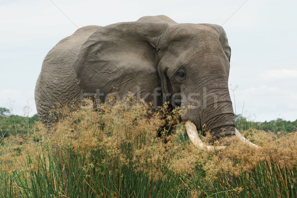 Elephant in high grassy vegetation Stock photo © prill