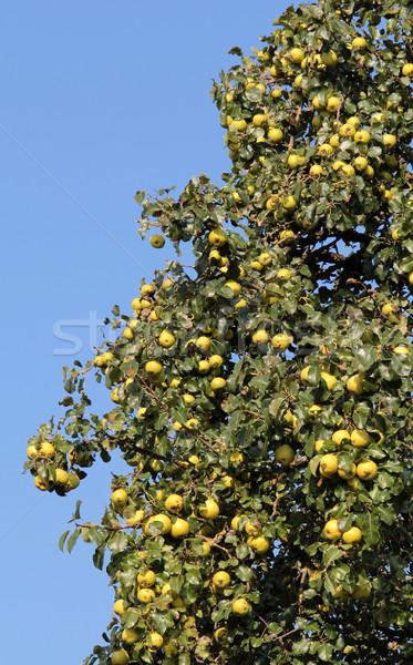 Almafa részlet gyümölcsfa étel levél ősz Stock fotó © prill